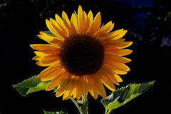 Backlit Sunflower 3  in elementary school garden Stock Photography