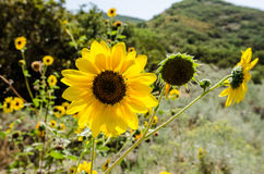 Backlit Sunflower (Helianthus) Stock Image