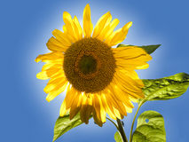 Backlit sunflower. A Sunflower with the sun right behind it with a hallow Stock Images