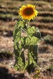 Backlit sunflower. By a wire field fence stock image