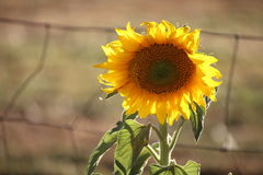 Backlit sunflower. By a wire field fence Royalty Free Stock Photography