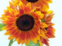 Sunflower Bunch. Backlit sunflowers variegated yellow and orange Stock Images