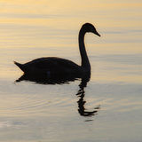Backlit swan Royalty Free Stock Photography