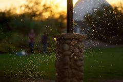 Backlit Swarm of Mosquitos or Gnats stock photography