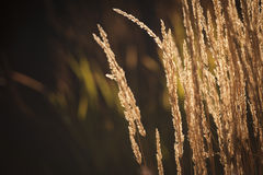 Backlit Tall grass. Golden grass backlit by late evening sunlight. There is copy space on the left hand side of the image royalty free stock image