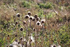 Backlit thistle backs. Seeds thistle fall autumn dispersal fluff look prickly seeds weeds globes heads backlit royalty free stock photo