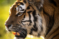 Backlit Tiger Stock Photo