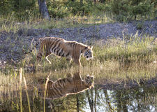 Backlit Tiger Reflection Royalty Free Stock Images