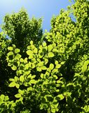 Backlit tree leaves. Green tree leaves in afternoon sun Royalty Free Stock Images