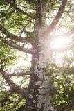Backlit tree with sunburst Stock Image