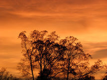 Backlit Trees against Orange Sunset. Thin clouds provide a backdrop on which the orange glow of sunset back light a stand of leaveless trees Stock Image
