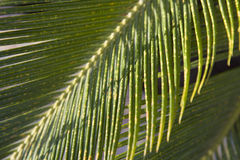 Backlit tropical leaf Royalty Free Stock Images