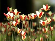 Backlit tulpen royalty-vrije stock afbeelding