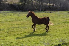 Old Saddlebred Mare Trotting in a Green Pasture stock photography