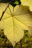 Backlit vine maple leaf. Stock Photography