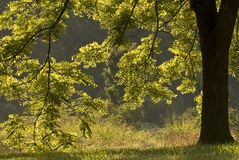 Backlit Walnut Tree Royalty Free Stock Images