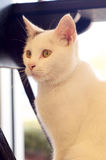 Backlit white cat sitting Stock Photography