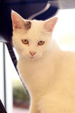 Backlit white cat sitting looking at viewer Stock Photos