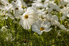 Backlit white cosmos flowers Royalty Free Stock Image