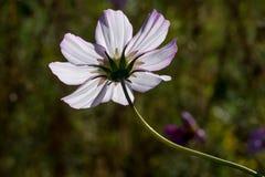 Backlit white field flower Stock Image