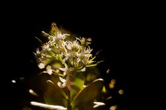 Backlit white flowers. A bunch of white flowers with sunny backlighting Stock Photography