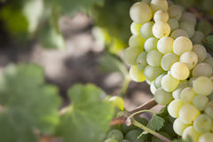 Backlit White Grape Bushels Vineyard in The Morning Sun Royalty Free Stock Images