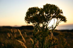 Backlit Wild Flower. Wild flower in the foreground with a setting sun behind Stock Photos