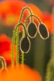 Backlit wild poppy buds. Detail of backlit wild poppy buds stock photo
