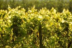 Backlit winogrady Obrazy Stock