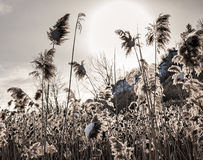 Backlit winter reeds royalty free stock image
