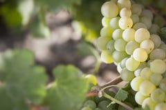Backlit Witte Wijngaard van Druivenbushels in de Ochtendzon royalty-vrije stock afbeeldingen
