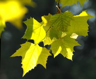 Backlit yellow leaves Stock Photography