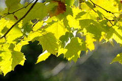 Backlit yellow leaves Stock Photos