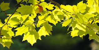 Backlit yellow leaves Stock Photo