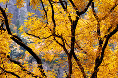 Backlit yellow tree Royalty Free Stock Photo