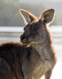 Backlit young kangaroo. Sun-backlit young kangaroo at water's edge stock photo