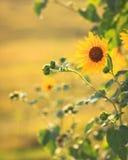 Backlit Zonnebloemen Stock Afbeelding