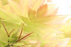 Backlite-Ahorn stockbilder