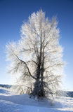 Backlite cottonwood tree with ice on branches in winter with sno Stock Photography