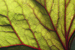 Backlite leaf of ligularia. Backlite green leaf with red veins.  Close up Stock Images