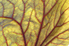 Backlite leaf of ligularia Stock Photo