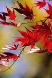 Backlite Leaves. Maple leaves in backlighting - Fall Season stock images