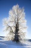 Backlite-Pappelbaum mit Eis auf Niederlassungen im Winter mit sno Stockfotografie