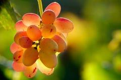 backlited виноградины Стоковое Изображение RF