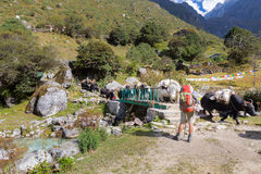 Backpacker standing next bridge while yaks crossing carrying hea Stock Images