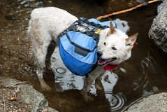 Backpacking Dog Stock Image