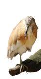 Backroud del blanco del pájaro Fotografía de archivo
