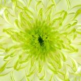 backround chryzantemy kwiatu zieleni wapna kwadrat Obrazy Royalty Free