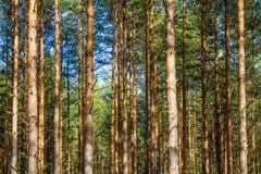 Backround da floresta do pinho Imagens de Stock