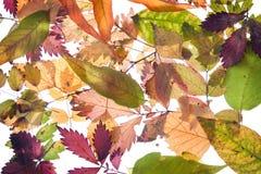 Backround de las hojas de otoño Fotografía de archivo